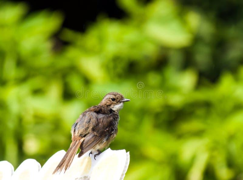 Brown ptak obrazy royalty free