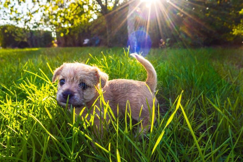 Brown puppy in enlightened grass. Brown puppy playing in enlightened grass stock photography