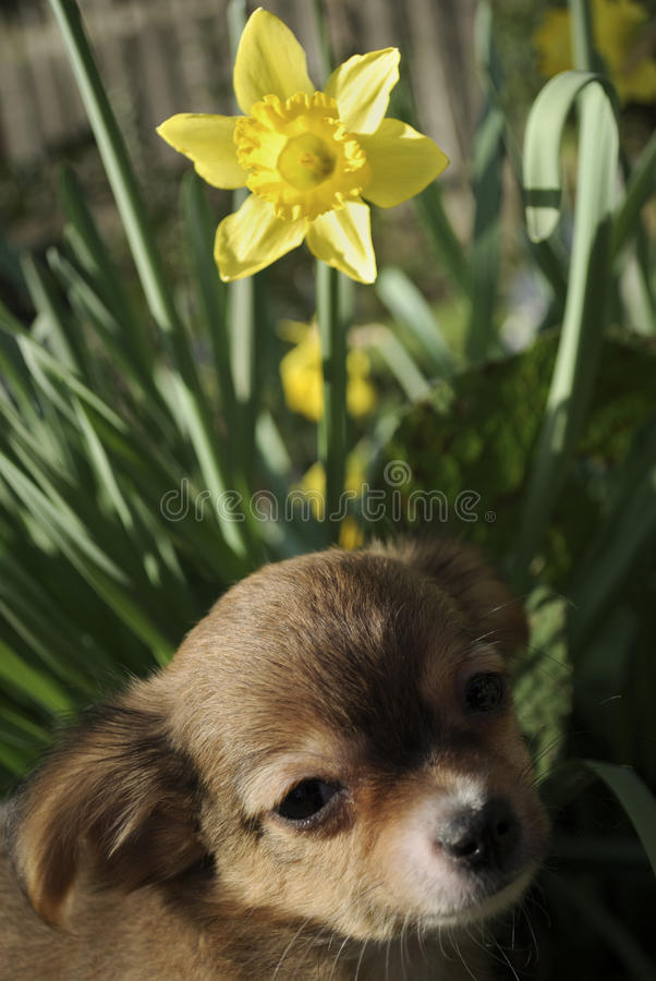 Brown puppy in a flower pot stock images