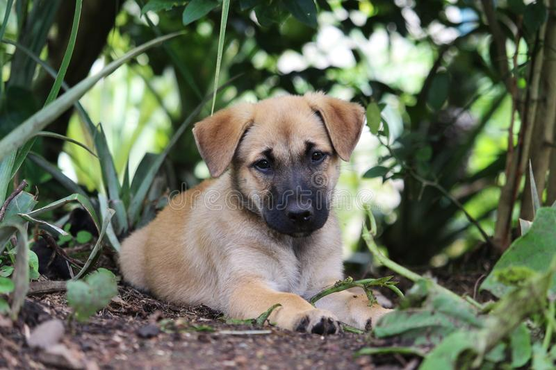 Brown puppy in garden. A cute brown mixed breed puppy rests in the shade of a garden stock photography