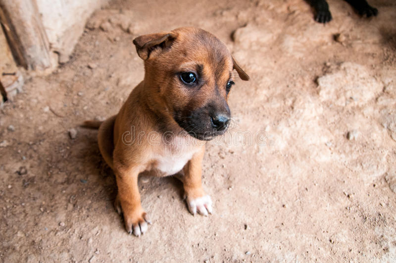 Brown Puppy on the ground royalty free stock image