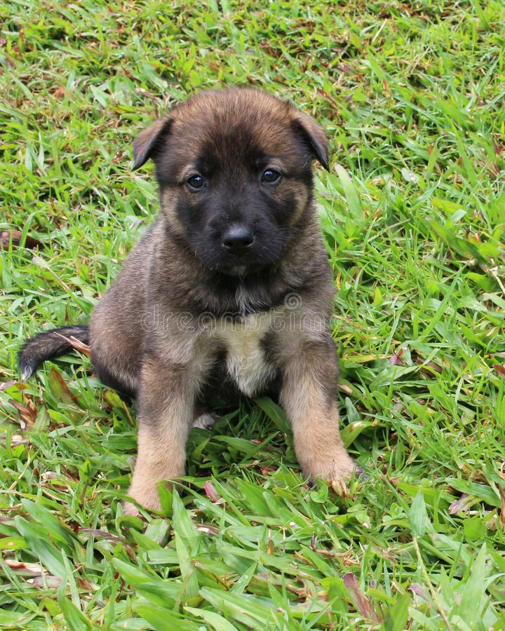 Brown puppy portrait. A cute mixed breed puppy in the grass stock image
