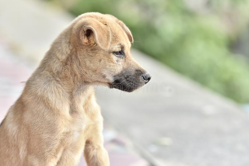 The brown puppy sat, looking at the front with a sad face. royalty free stock images