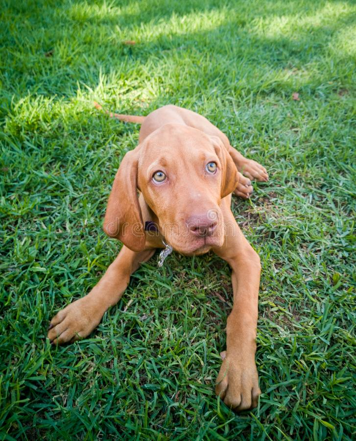 a brown puppy vizsla dog royalty free stock images