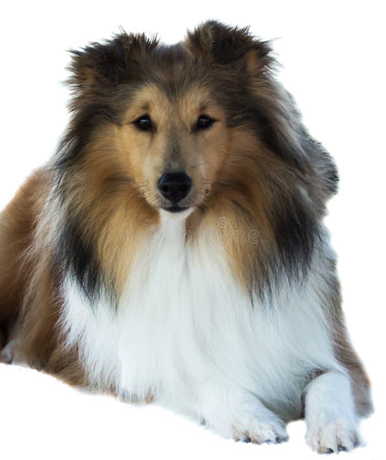 Brown purebred shelti białego collie zwierzęcia domowego pasterski pies odizolowywający na białym tle obrazy royalty free