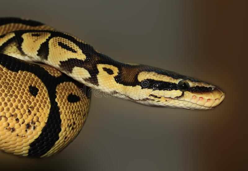 Brown Python royalty free stock images