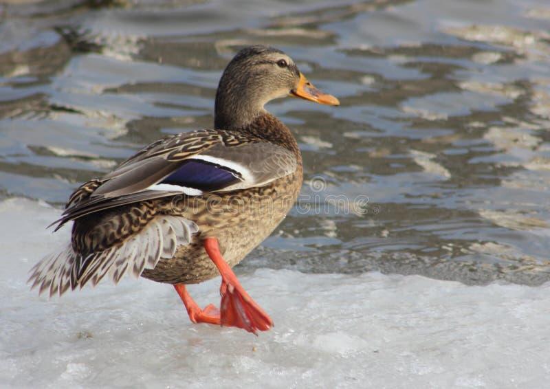Brown que o pato está perto da água, preparando-se para saltar na água, aves aquáticas bem-alimentadas gordas vai no gelo imagem de stock royalty free