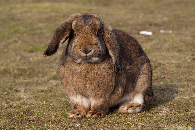 Brown rabbit royalty free stock photos