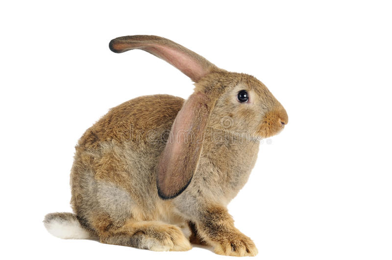 Brown rabbit bunny isolated royalty free stock images