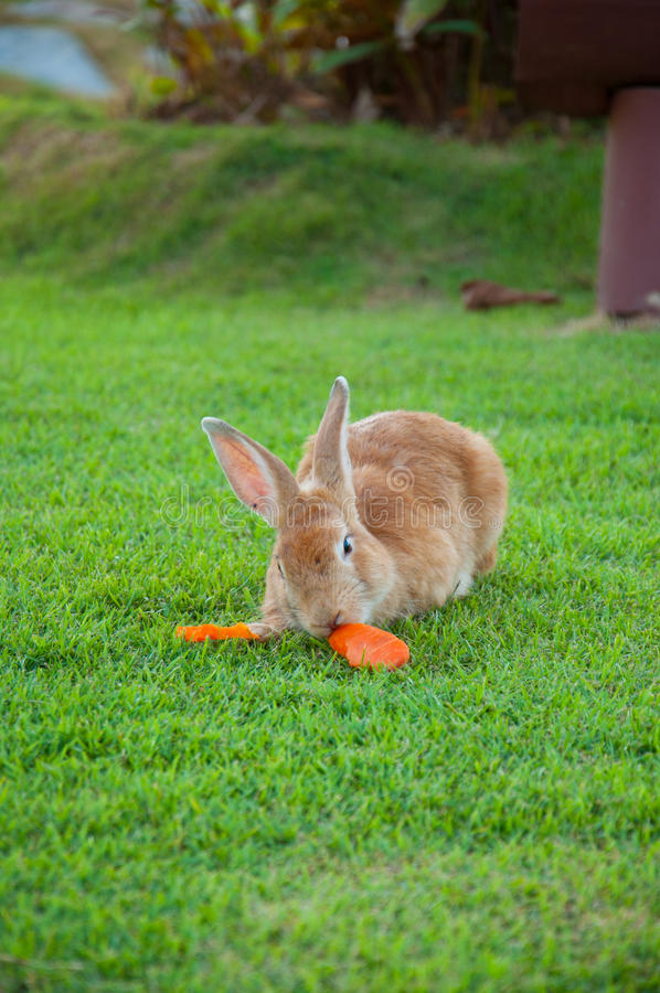 Brown Rabbit Eat Carrot royalty free stock photo
