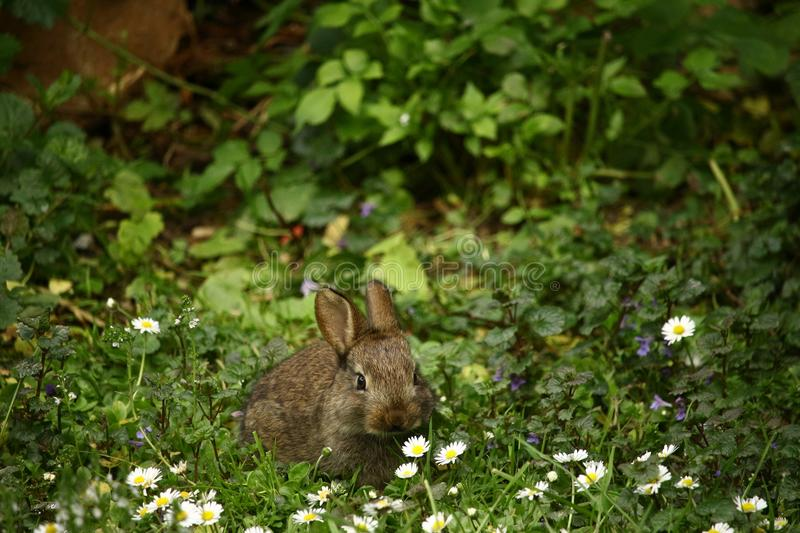 Brown Rabbit in Front of White Daisies royalty free stock images
