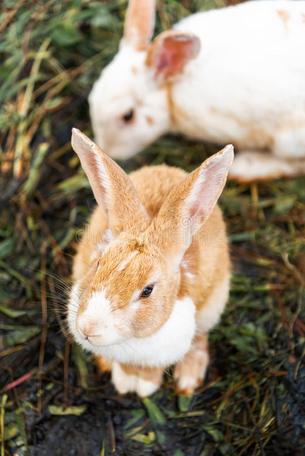 Brown rabbit is a mammal is on the lawn in nature in the morning of spring season stock image