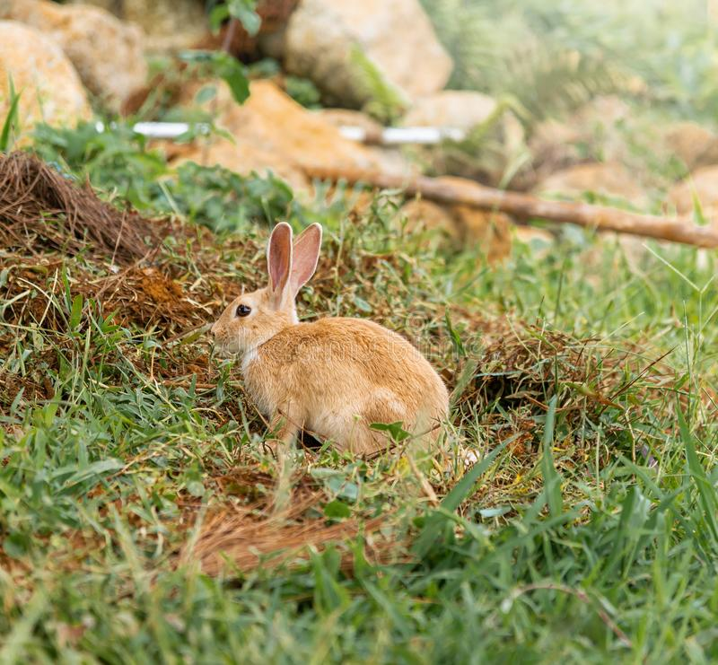 Brown rabbit is a mammal is on the lawn in nature in the morning of spring season stock photos