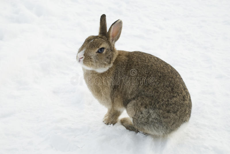 Brown rabbit in snow. Brown rabbit with white nose and blue eyes in the snow stock photo