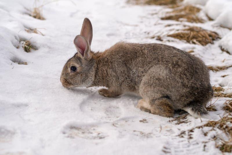 Brown rabbit on snow stock photo