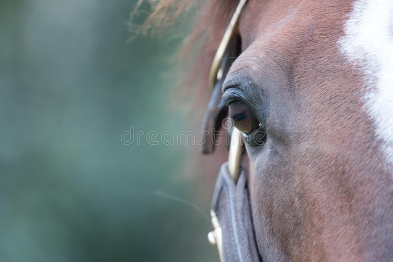 Brown Racehorse. A brown racehorse peaks at us through is fence royalty free stock images