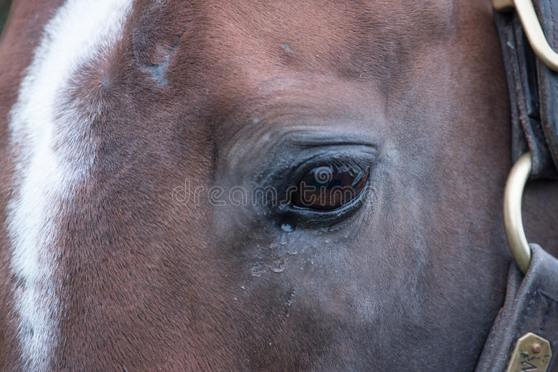 Brown Racehorse. A brown racehorse peaks at us through is fence stock images