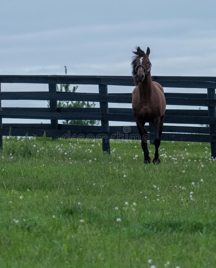 Brown Racehorse. A brown racehorse peaks at us through is fence royalty free stock photo