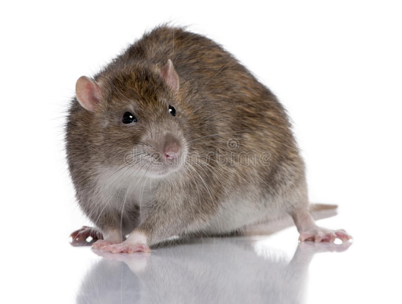 Brown Rat royalty free stock photography
