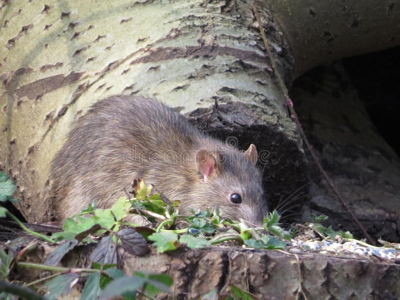 Brown Rat looking for next meal. Sadly a much too common sight in Britains towns and cities these day. The Brown Rat ( Rattus norvegicus ) lives of the waste royalty free stock images