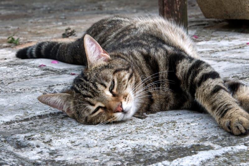 Brown rayó el gato que dormía en el piso foto de archivo