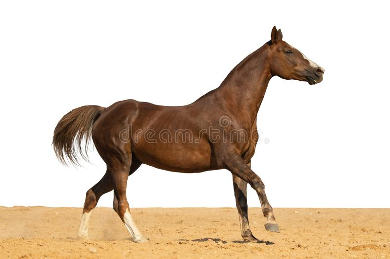 Horse jumps on sand on a white background. Brown and red horse galloping on sand on a white background, without people royalty free stock images