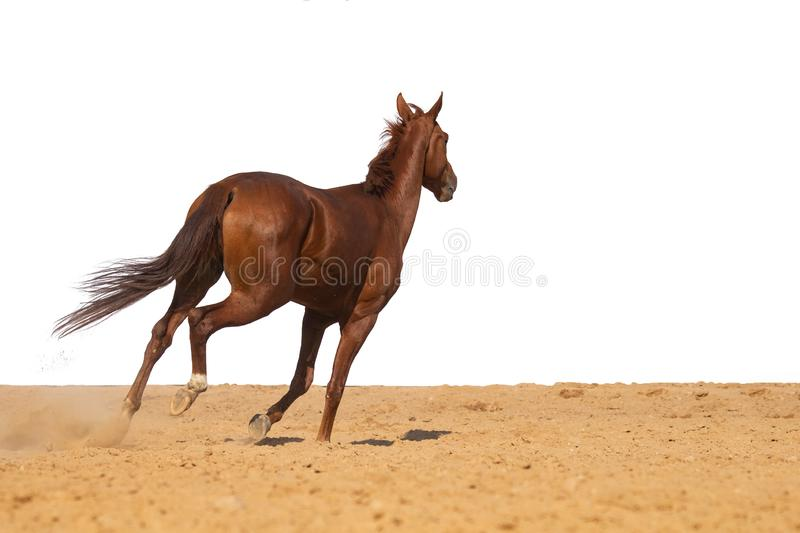 Horse jumps on sand on a white background. Brown and red horse galloping on sand on a white background, without people stock images