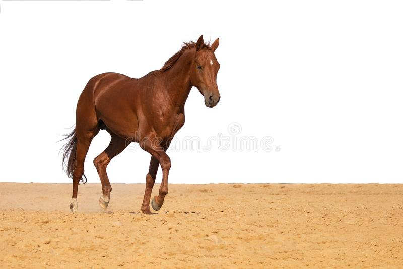 Horse jumps on sand on a white background. Brown and red horse galloping on sand on a white background, without people royalty free stock image