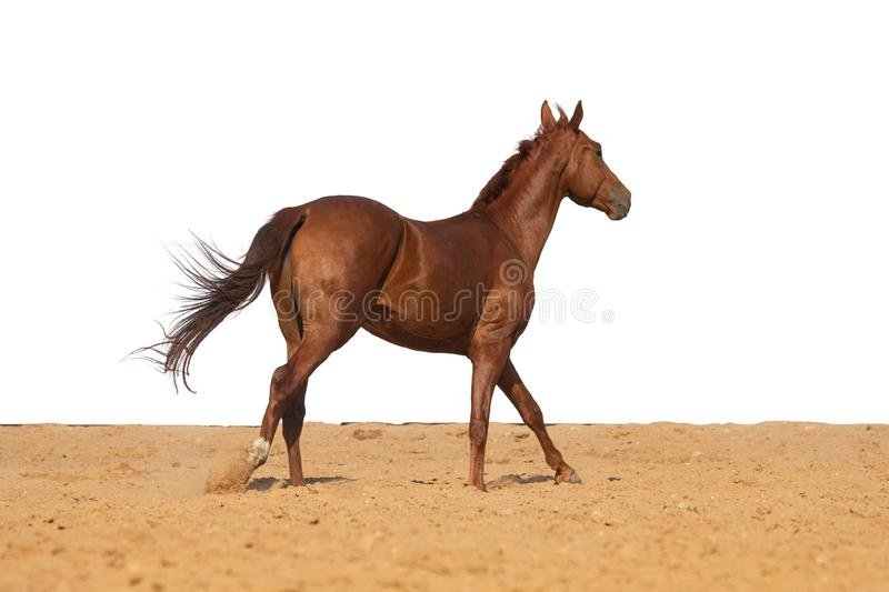 Horse jumps on sand on a white background. Brown and red horse galloping on sand on a white background, without people royalty free stock photo