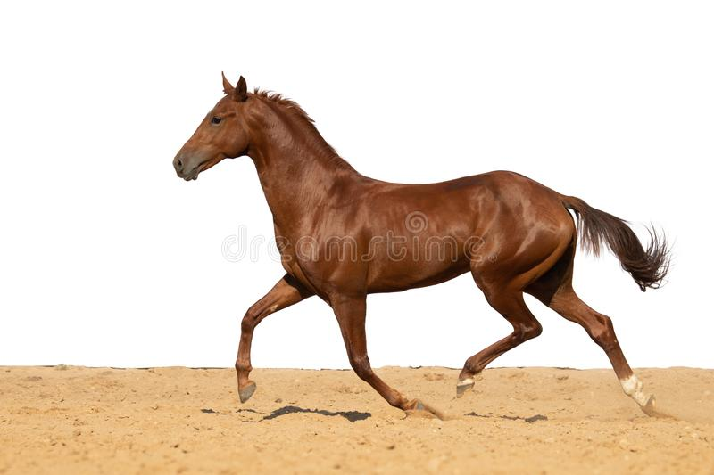 Horse jumps on sand on a white background. Brown and red horse galloping on sand on a white background, without people stock photos