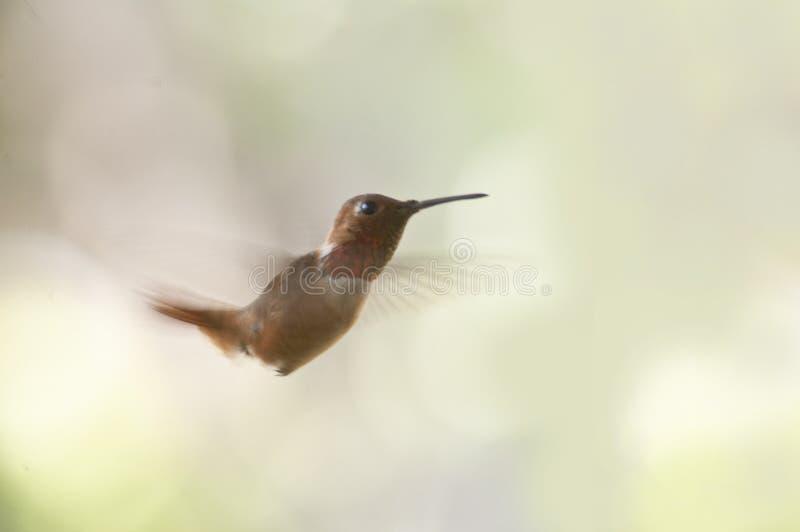Tiny Ruby throated hummingbird in flight closeup light green background stock photo