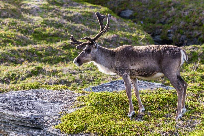 Brown renifer Sami ludzie wzdłuż drogi w Norwegia fotografia royalty free