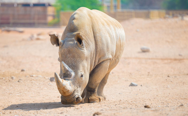 Brown rhinoceros. Wild brown rhinoceros lives in open zoo at UAE royalty free stock photography