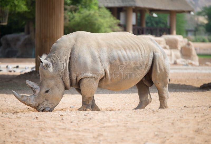 Brown rhinoceros. Wild brown rhinoceros lives in open zoo at UAE stock image