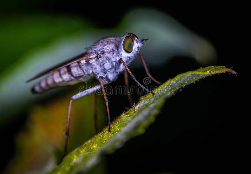 Brown Robberfly Perched on Green Leaf Macro Photography stock image