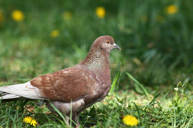 Brown rockowego gołębia odprowadzenie w wiosny natury polu zdjęcie royalty free