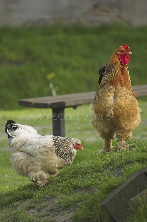 Brown rooster stock image