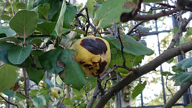 Brown Rot of a Quince Fruit royalty free stock images