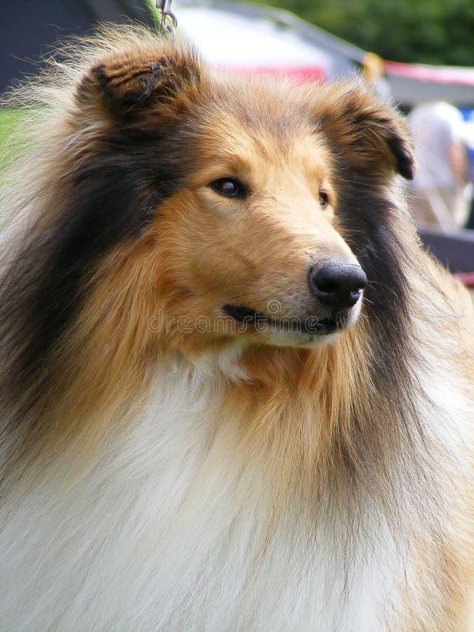 Brown rough collie portrait
