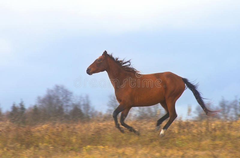 Download Brown running wild horse stock image. Image of action - 79632045