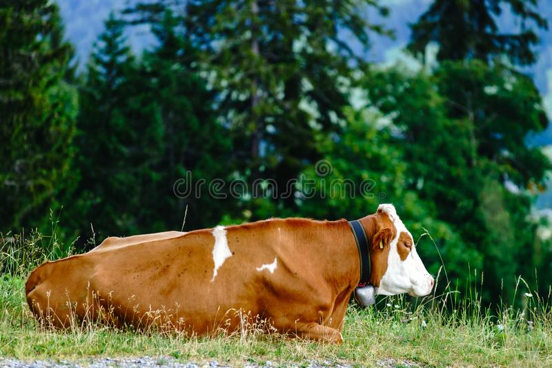 Brown rusty cow lies on a pasture in mountains royalty free stock photography