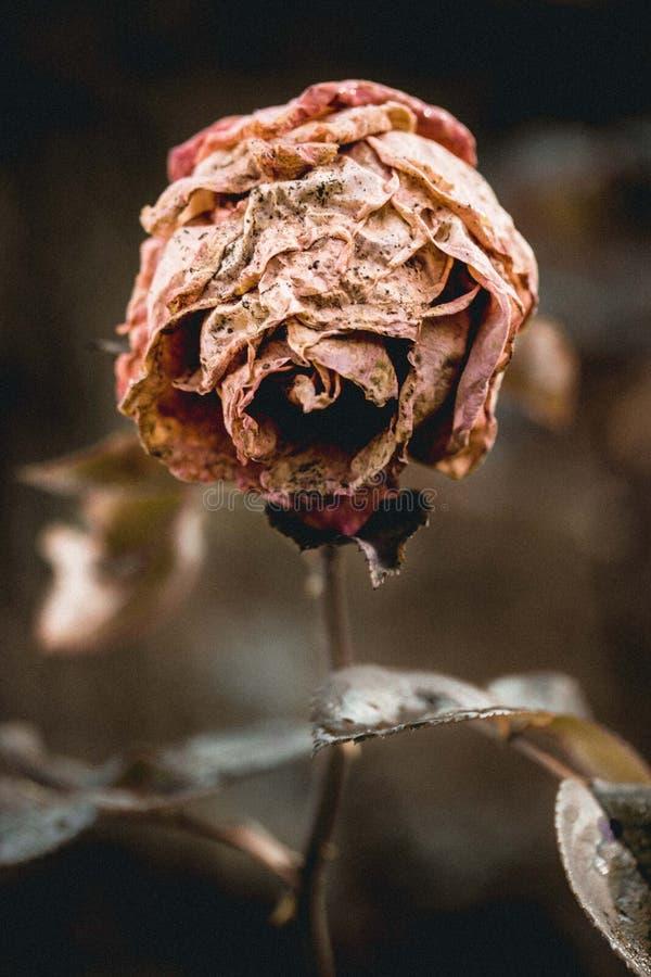 Brown a séché Rose Macro Photography images stock