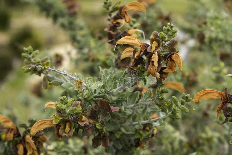 Brown Sage plant Salvia Africana lutea royalty free stock photo