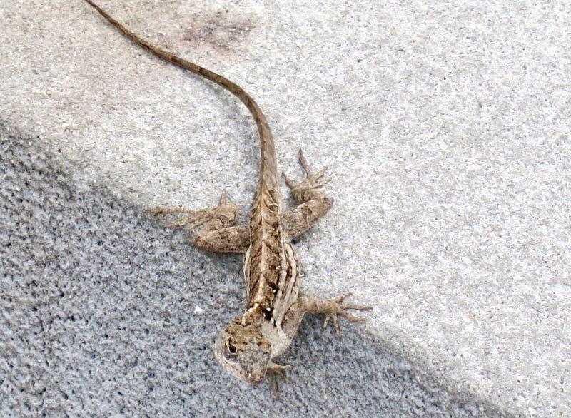 Brown salpicou o lagarto no freio do passeio fotografia de stock royalty free