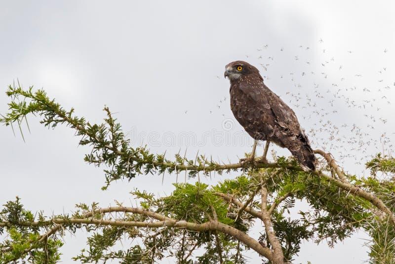 Brown-Schlangenadlerraubvogel mit Fliegen vieler Wanzen herum an Nationalpark Serengeti in Tansania, Afrika stockfotos