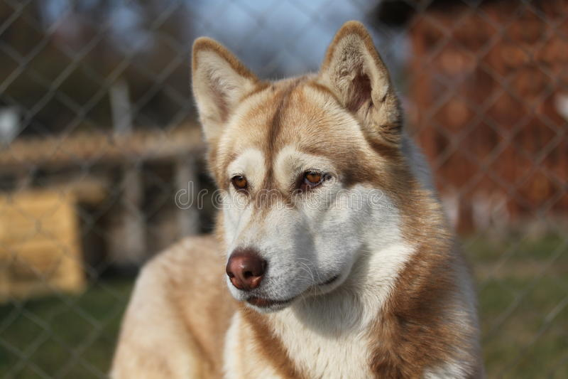 Brown-Schlittenhund lizenzfreie stockfotos
