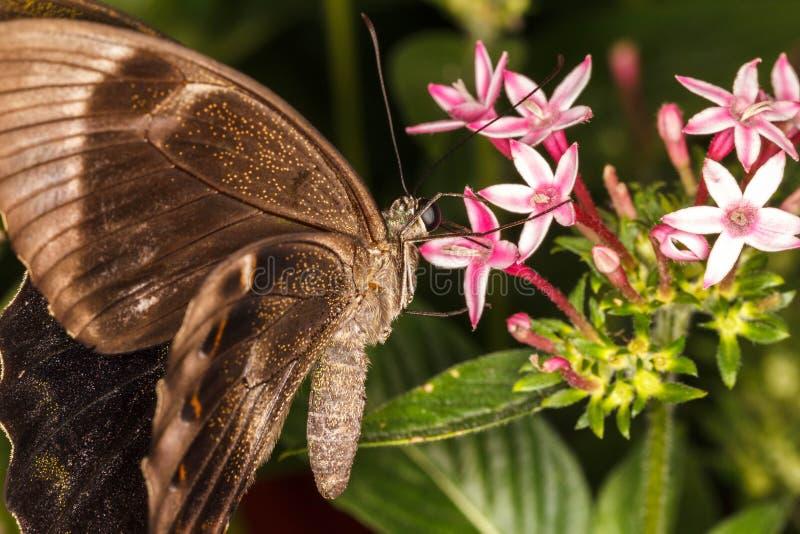 Brown-Schmetterling lizenzfreie stockfotos
