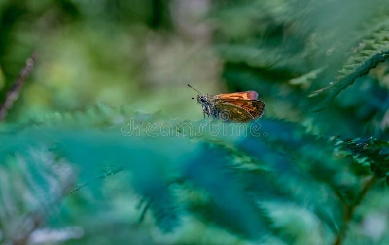 Brown-Schmetterling auf einem grünen Farn stockbild