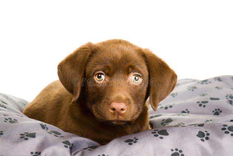 Brown-Schokoladenlabrador-Welpe auf einem grauen Kissen lizenzfreies stockfoto