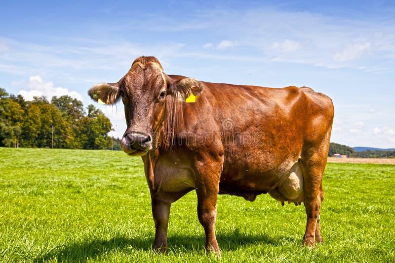 Brown-Schweizer-Kuh stockbilder
